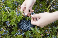 Picking blue berries. Womans hands picking blue berries with a bowl stock image