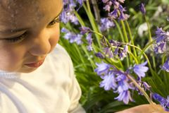 Picking Bluebells. A beautiful mixed race little girl picking bluebells bathed in sunshine stock images