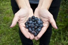 Picking blueberries Royalty Free Stock Photos