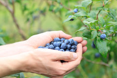 Picking Blueberries Stock Image