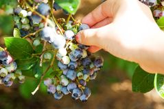 Picking Blueberries. Blueberries on a bush with a hand picking them Royalty Free Stock Image
