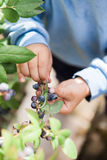 Picking blueberries Royalty Free Stock Image