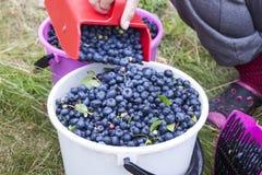 Picking blueberries vaccinium corymbosum Stock Photography