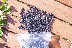 Picking blueberries Vaccinium myrtillus Royalty Free Stock Photo