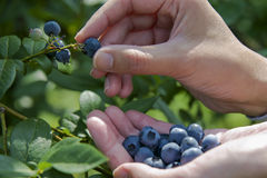 Picking blueberries Stock Photo
