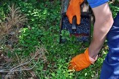 Picking blueberries Royalty Free Stock Image