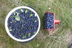 Picking bush blueberries Royalty Free Stock Photo