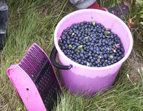 Picking bush blueberries huckleberries. Picking bush blueberries, huckleberries, Vaccinium corymbosum, with a pink berry picker, in a pink bucket Stock Image