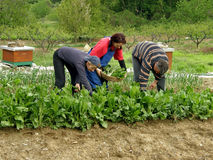 Picking chard. Three people pickers - picked chard (working) at the local field. They have a basket full of freshly domestic natural picked spinach. Horizontal royalty free stock photos