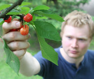 Picking cherries 2. A man inspecting cherries on a tree Royalty Free Stock Images