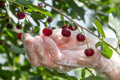 Picking of cherries Stock Image