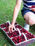 Picking cherries. Woman adding cherries to baskets royalty free stock photo