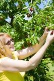 Picking cherries Royalty Free Stock Image