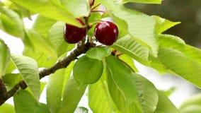 Picking Cherries 01 Stock Photos