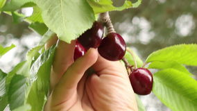 Picking Cherries 02 Royalty Free Stock Photos
