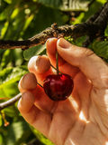Picking cherries. Manual collection of raw red cherry Stock Image