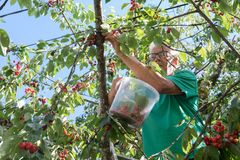 Picking cherries in the tree Stock Photography