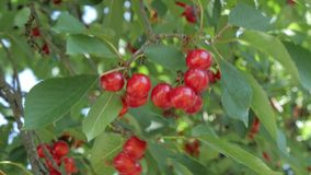Picking cherries from a tree. Closeup of a child's hand picking cherries from the tree stock footage