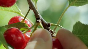 Picking cherries from a tree. Closeup of a man's hand picking cherries from the tree stock video footage
