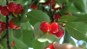 Picking cherries from a tree. Closeup of a man's hand picking cherries from the tree stock footage