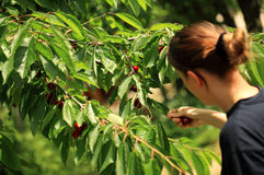 Picking cherry. Young woman picking some cherries Royalty Free Stock Images