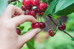 Picking cherry Stock Image