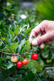 Picking cherry thai from tree Stock Photos