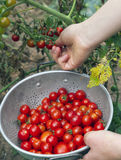 Picking Cherry Tomatoes in Summer Stock Images
