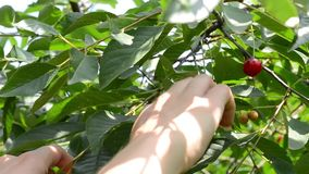 Picking A Cherry from Tree stock footage