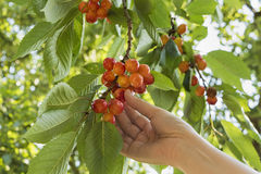 Picking cherry Stock Images