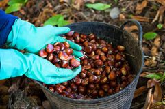 Picking chestnuts Stock Photos