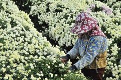 Picking Chrysanthemums. Stock Photos