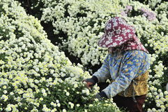 Picking chrysanthemums. Stock Photos
