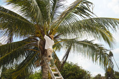 Picking coconuts. A man up a tree picking coconuts Stock Photography
