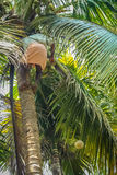 Picking coconuts. Indian man from Kerala climbing on the coconut palm, picking fruits and throwing them down Royalty Free Stock Photo