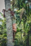 Picking coconuts. Indian man from Kerala climbing up the coconut palm, India Royalty Free Stock Photography