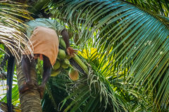 Picking coconuts. Indian men from Kerala climbing on the coconut palm, picking fruits and throwing them down Royalty Free Stock Photography