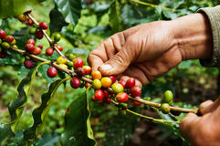 Picking Coffee Stock Images