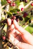 Picking coffee. Bean on tree Royalty Free Stock Image