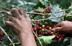 Picking coffee beans royalty free stock photos