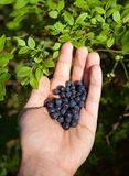 Bluberries in a hand stock photo