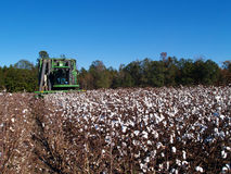 Picking Cotton Royalty Free Stock Photo