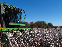 Picking Cotton Close-up Stock Photography