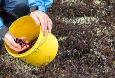 Picking cranberries Royalty Free Stock Images