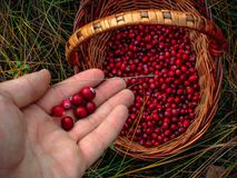 Picking cranberries in a straw basket in autumn vector illustration