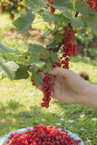 Picking currant Stock Images