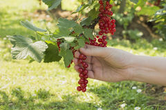 Picking currant Royalty Free Stock Images