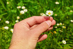 Picking daisies Royalty Free Stock Images