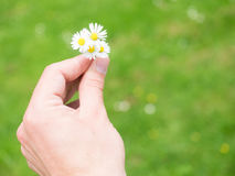 Picking daisies. Hand holding some daisies against a green bokeh background for your copy - some selective focus on the daisies Royalty Free Stock Image