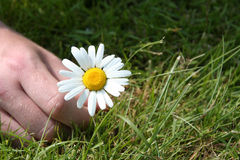 Picking a daisy Stock Image